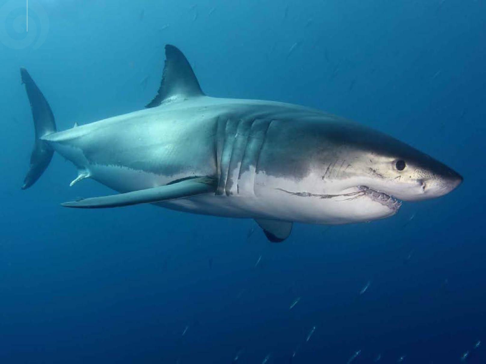 линия фотки про больших акул длина локонов считается