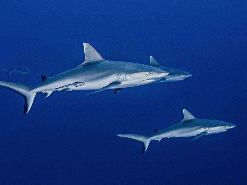 manada-tiburones