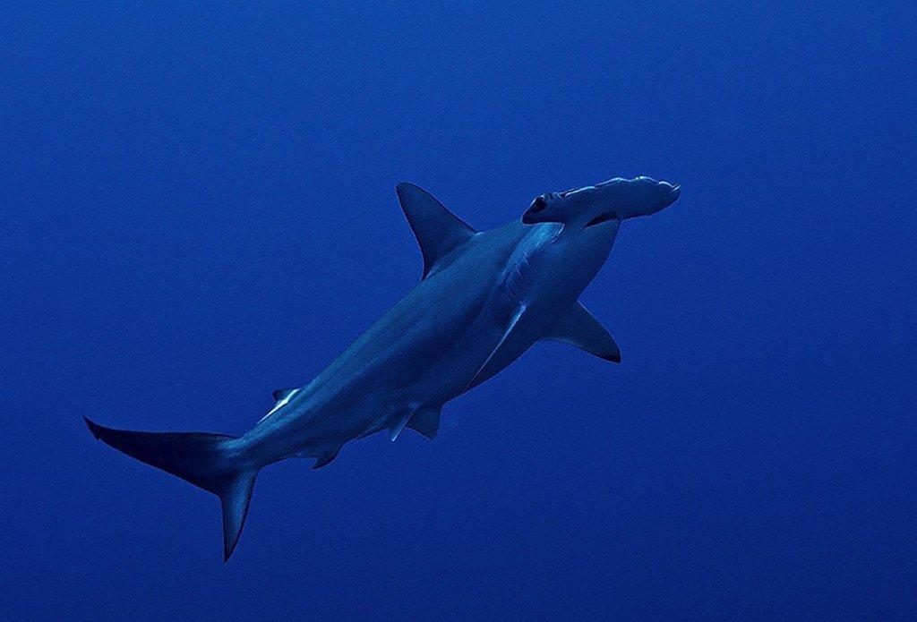 temporadas-de-buceo-en-maldivas-pez-martillo